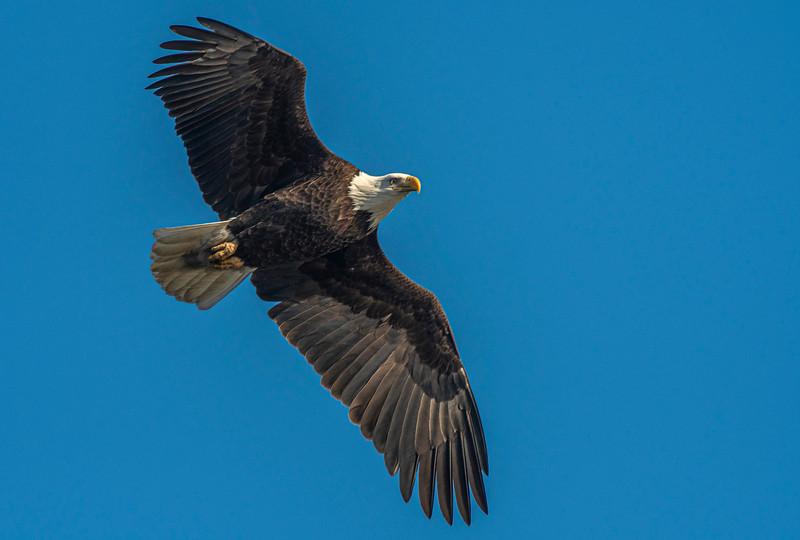 Bald Eagle fly over