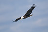 ABE-9003: Bald Eagle flying over Diamond Lake in Minnesota