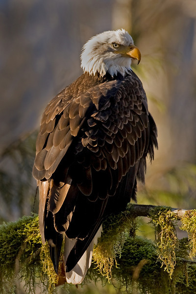Bald eagles are majestic birds.  This photograph was made in a valley north of Squamish, BC.  As illustrated, the eagle was well aware of my presence.