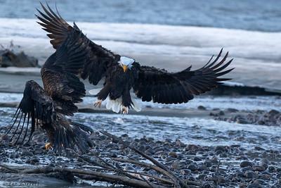 0U2A5287_Eagle