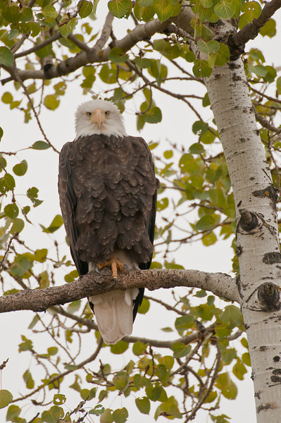ABE-9021: Eagle on Aspen perch--Photographed at Crex Meadows WMA Wisconsin