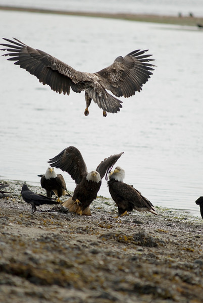 bald eagle fighting over a dead fish