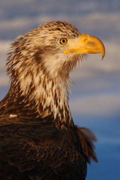 ABE-5636: Juvenile Bald Eagle