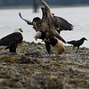 The majestic bald eagle fighting over a dead fish with an osprey