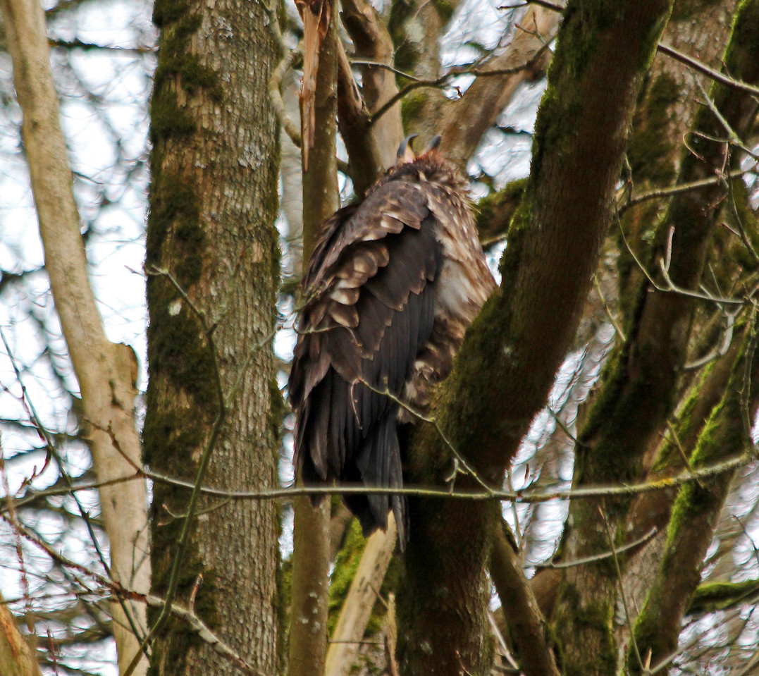 Immature Bald Eagle crying to parents nearby