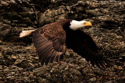 A bald eagle soars along along the rocky shoreline of San Juan Island