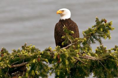 A bald eagle perched on a treetop on San Juan Island