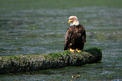 Bald eagle perches on a log following a tasty meal