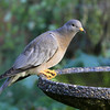Band-Tailed Pigeon<br /> 17 OCT 2011