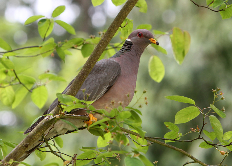 Band-Tailed Pigeon<br /> 08 MAY 2012