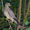 Band-Tailed Pigeon<br /> 18 OCT 2011