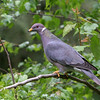 Band-Tailed Pigeon<br /> 27 MAY 2010