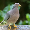 Band-Tailed Pigeon<br /> 01 JUL 2008