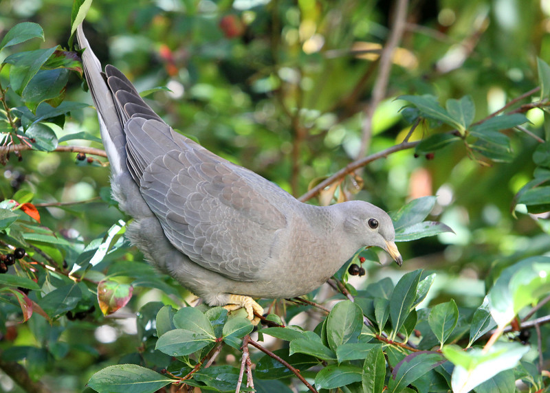 Band-Tailed Pigeon<br /> 04 SEP 2012