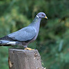 Band-Tailed Pigeon<br /> 01 SEP 2006