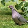 Band-Tailed Pigeon<br /> 25 MAY 2010