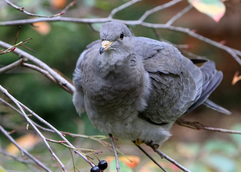 Band-Tailed Pigeon<br /> 23 OCT 2012