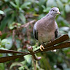 Band-Tailed Pigeon<br /> 31 OCT 2009