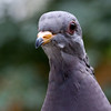 Band-Tailed Pigeon<br /> 22 SEP 2011