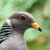 Band-Tailed Pigeon<br /> 07 JUN 2012