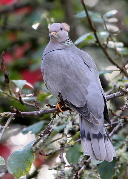 Band-Tailed Pigeon<br /> 03 NOV 2011