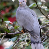 Band-Tailed Pigeon<br /> 03 NOV 2011
