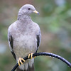 Band-Tailed Pigeon<br /> 27 DEC 2007