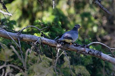 0U2A8311_Band-tailed Pigeons