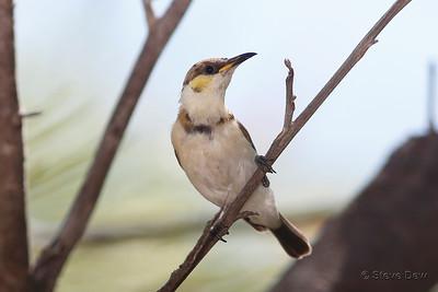 Banded Honeyeater - Juvenile