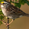 White-throated Sparrow - Marilyn Gaizband