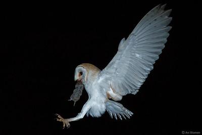 Barn Owl תנשמת
