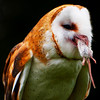 Barn Owls : I recommend that you click on the slide show button at the top right side of this page to sit back and enjoy the fine art show. When the slide show begins, I suggest that you click on Hide Captions to view the images unencumbered by text. You can click on the 'Slow,' 'Medium,' or 'Fast' button for your speed preference.