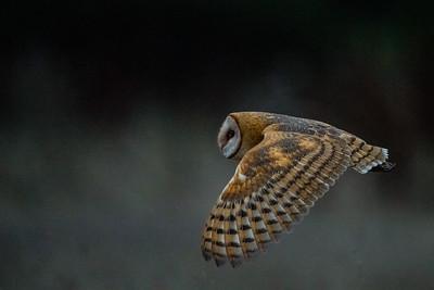Barn Owl - Half Moon Bay, CA, USA