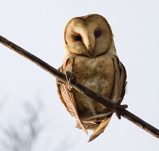 Barn Owl - Panoche Valley, CA, USA