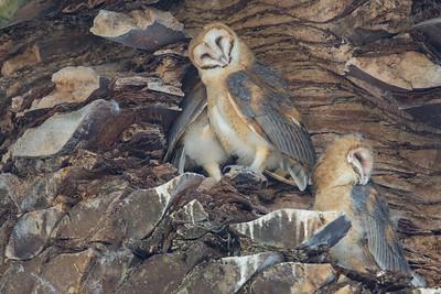 Barn Owl - Alameda, CA, USA