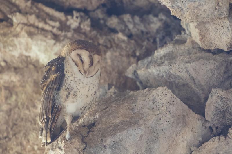 Barn Owl - Galapagos, Ecudaor