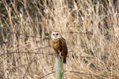 202A0161_Barn Owl