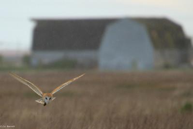 IMG_4158_Barn Owl hunting