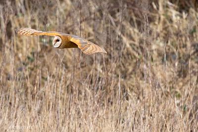 202A0175_Barn Owl