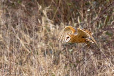 202A0173_Barn Owl