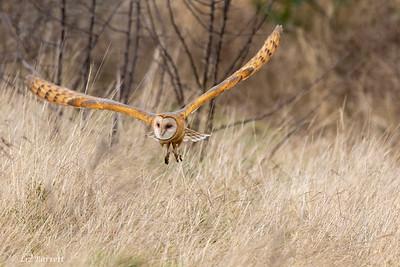 202A0201_Barn Owl