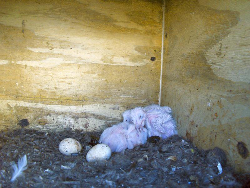 Barn Owls chicks