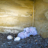 Barn Owls chicks