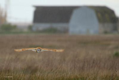 IMG_4159_Barn Owl hunting