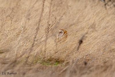 Barn Owl202A0224