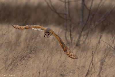 202A0403_Hunting Barn Owl