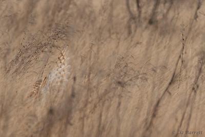 202A0407Abstracy Barn owl hunt