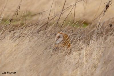 Barn Owl202A0235