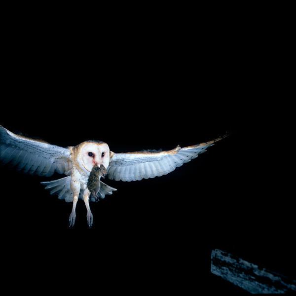 Barn Owl in flight with rat