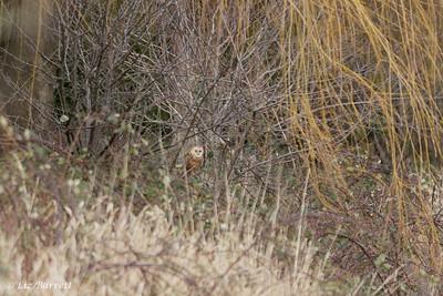 202A0294Barn owl in hiding